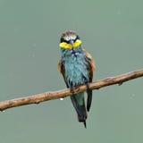 European bee-eater (Merops Apiaster) in natural habitat Stock Image