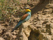 European bee-eater - Merops Apiaster Royalty Free Stock Photo