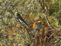 European bee-eater (Merops Apiaster) Stock Photography