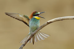 European bee-eater (Merops Apiaster) Royalty Free Stock Photo