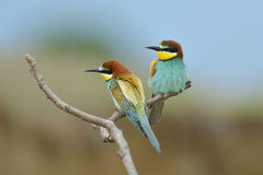 European bee-eater (Merops Apiaster) Royalty Free Stock Photography