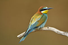 European bee-eater Stock Images