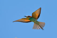 European bee-eater (Merops Apiaster) outdoor Royalty Free Stock Photography