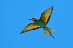 European bee-eater (Merops Apiaster) outdoor Stock Images