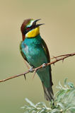 European bee-eater (Merops Apiaster) outdoor Royalty Free Stock Image