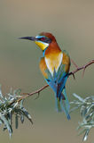 European bee-eater (Merops Apiaster) outdoor Stock Photography