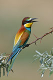 European bee-eater (Merops Apiaster) outdoor Stock Image