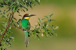 European bee-eater (Merops Apiaster) outdoor Stock Photo
