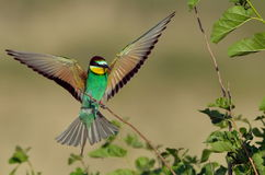 European bee-eater (Merops Apiaster) outdoor Stock Photos