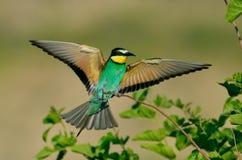 European bee-eater (Merops Apiaster) outdoor Royalty Free Stock Photo