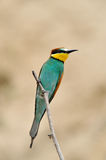 European bee-eater (Merops Apiaster) outdoor Royalty Free Stock Images