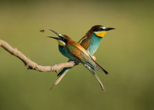 European Bee Eater Merops Apiaster, Pair Perched O Royalty Free Stock Photo