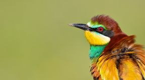 European bee-eater (Merops apiaster). Stock Photo