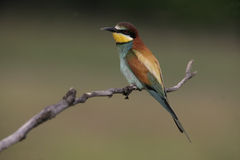 European bee-eater, Merops apiaster Stock Photo