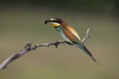 European bee-eater, Merops apiaster Royalty Free Stock Photo