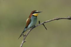 European bee-eater, Merops apiaster Royalty Free Stock Image