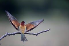 European bee-eater, Merops apiaster Stock Photo