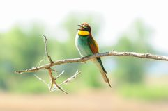 European bee-eater sits on a branch with open beak. European bee-eater Merops apiaster sits on a branch with open beak Royalty Free Stock Photo