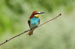 European bee-eater sits on a thin dry branch, unkindly squinting. European bee-eater Merops apiaster sits on a thin dry branch, unkindly squinting Royalty Free Stock Image