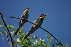 European Bee-eater (Merops apiaster) Stock Image