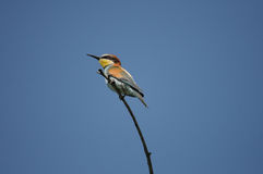 European Bee-eater (Merops apiaster) Stock Photos
