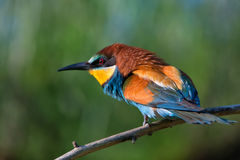 European bee-eater Royalty Free Stock Photos