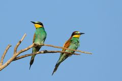 European Bee Eater (Merops Apiaster) Stock Photos