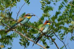 European Bee Eater (Merops Apiaster). Two bee eater on a knob in a tree Stock Photography