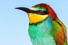 European bee eater with a metallic reflection on the feathers Stock Photos