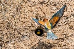 Free European Bee-eater Or Merops Apiaster On Ground Near Hole Nest Stock Photos - 154547333