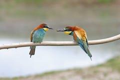 European bee-eater. A pair of european bee eater Stock Photos
