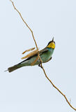 European bee-eater pearched on a branch Royalty Free Stock Photography
