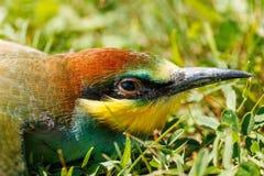 European bee-eater portrait (Merops apiaster) Stock Photos