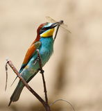 European bee-eater with prey dragonfly Royalty Free Stock Image