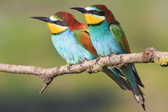 European bee-eater sit together Stock Photography