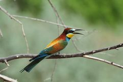 European bee-eater sits on a dry branch near its burrow during the breeding season. European bee-eater Merops apiaster sits on a dry branch near its burrow Royalty Free Stock Images