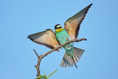 European bee-eater with wings outstretched on a beautiful background.  stock photography