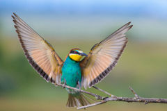European bee-eater with wings outstretched. On a beautiful background stock image