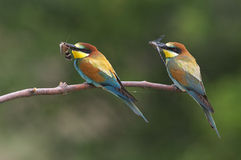 European bee eaters Stock Photography