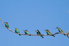 European Bee Eaters on a branch Royalty Free Stock Images