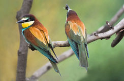 European Bee-eaters on branch Stock Image