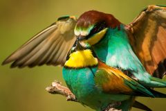 European bee eaters mating royalty free stock image