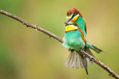 European bee eaters mating, Merops apiaster Stock Images