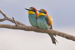 European Bee-eaters (Merops apiaster) on a branch. Pair of Beautiful European Bee-eaters (Merops apiaster Royalty Free Stock Photo