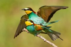 European bee eaters Merops apiaster mating on a beautiful background stock image