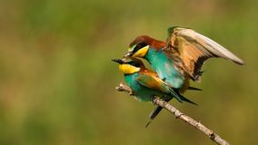 European bee eaters Merops apiaster mating royalty free stock photography