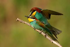 European bee eaters Merops apiaster mating on a beautiful background stock images