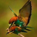 European bee eaters Merops apiaster mating royalty free stock photos
