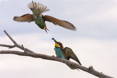 European Bee-eaters (Merops apiaster). Pair of Beautiful European Bee-eaters (Merops apiaster Royalty Free Stock Photography