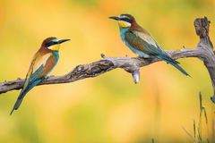 The European Bee-eaters, Merops apiaster is sitting and showing off on a nice branch, has some insect in its beak, during mating royalty free stock photo